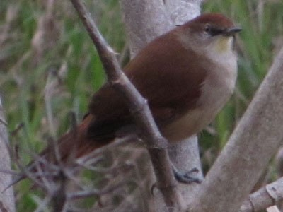Curutié-colorado/Yellow-throated Spinetail
