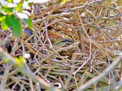 Espinero-pecho-manchado/Freckle-breasted Thornbird