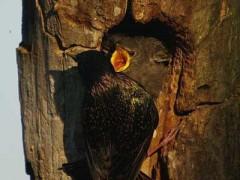 Estornino-pinto/European Starling