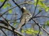 Fiofío silbón/White-crested Elaenia