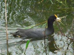 Gallareta-chica/White-winged Coot