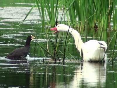Gallareta-Coscoroba/Coot-Swan
