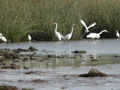 Garza y garcita blanca/Great and Snowy Egrets
