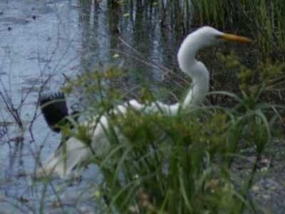 Garza-y-varillero/Egret and Blackbird