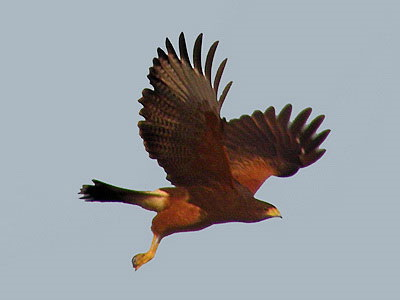 Gavilán mixto/Harris's Hawk