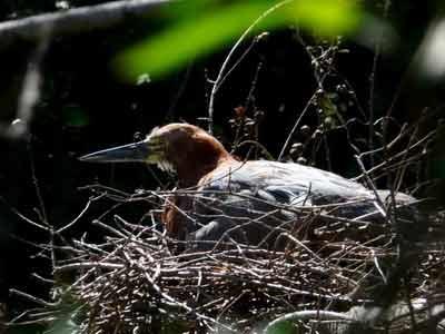 Hocó colorado anidando/Rufescent Tiger-Heron nesting
