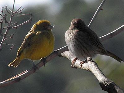 Jilguero dorado/Saffron Yellow-Finch