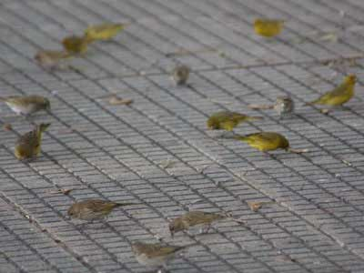 Jilguero-dorado/Saffron Yellow-Finch