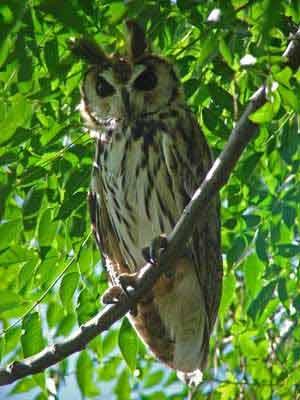 Lechuzón-orejudo/Striped Owl