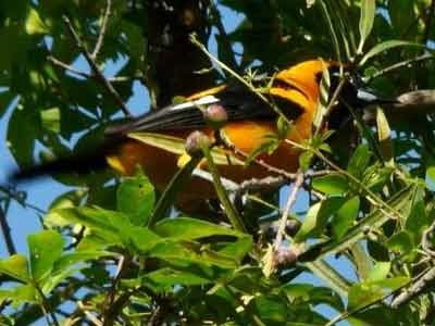 Matico/Orange-backed Troupial