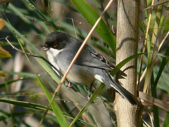 Monterita cabeza negraH/Black-capped Warbling-Finch F