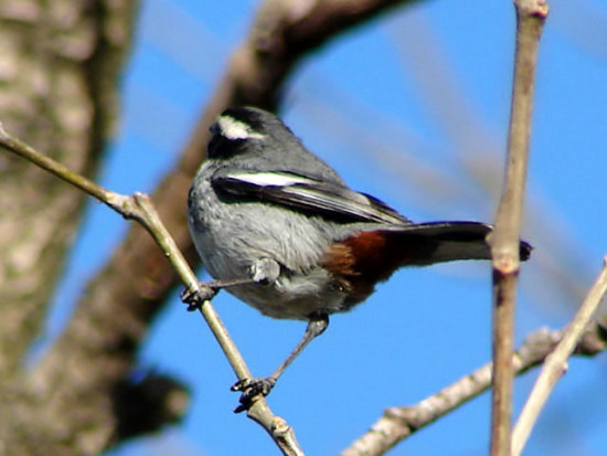 Monterita de collar/Monterita de collar/Ringed Warbling-Finch