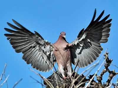 Paloma picazuró/Picazuro Pigeon