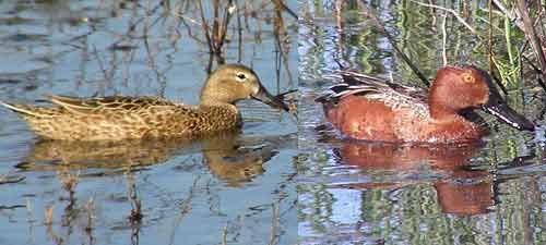 Pato-colorado/Cinnamon Teal