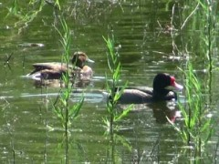 Pato-picazo/Rosy-billed Pochard