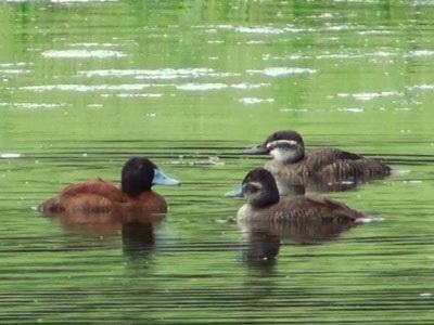 Pato zambullidor/Lake Duck