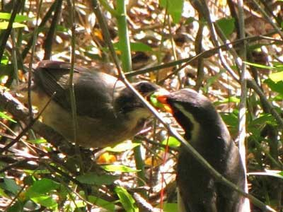 Pepitero-de collar/Golden-billed Saltator