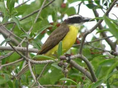 Pitanguá/Boat-billed Flycatcher
