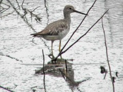 Pitotoy-grande/Greater Yellowlegs