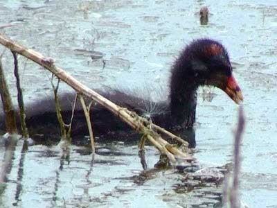 Pollona-negra/Common Gallinule
