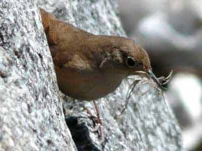 Ratona-común/House Wren