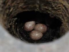 Ratona-común/House Wren