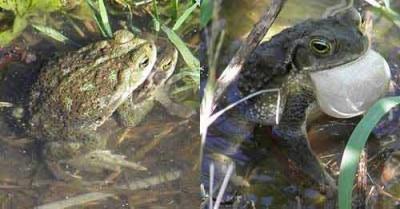 Sapo-común/Common Toad