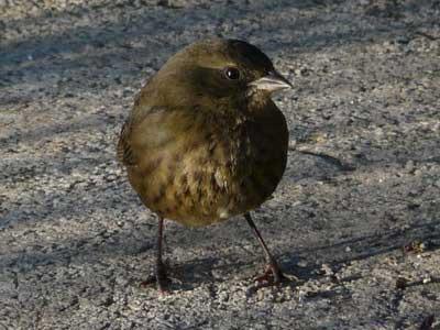 Sietevestidos/Rufous-and-black Warbling-Finch
