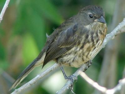 Sietevestidos/Black-and-rufous Warbling-Finch