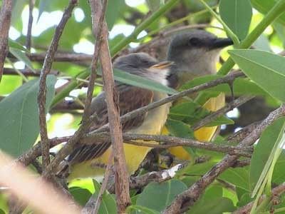 Suirirí-real/Tropical Kingbird