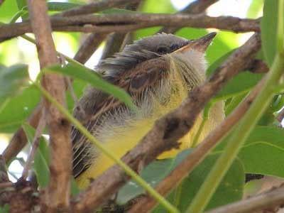 Suirirí-real/Tropical Kingbird