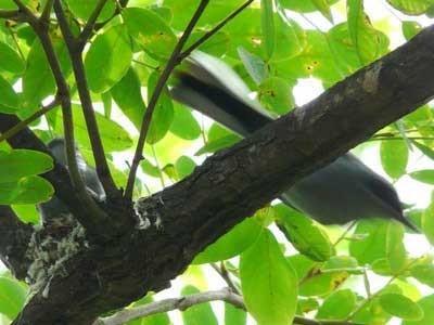 Tacuarita-azul/Masked Gnatcatcher