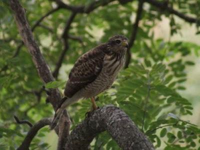 Taguató común/Roadside Hawk