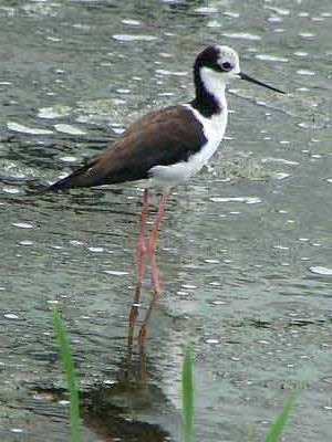 Tero-real/White-backed Stilt