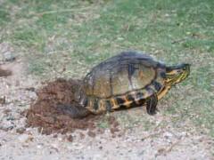 Tortuga-pintada/Painted Turtle