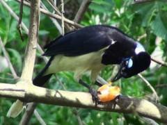 Urraca-común/Plush-crested Jay