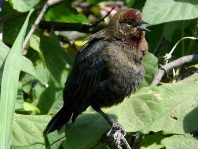 Varillero-congo/Chestnut-capped Blackbird