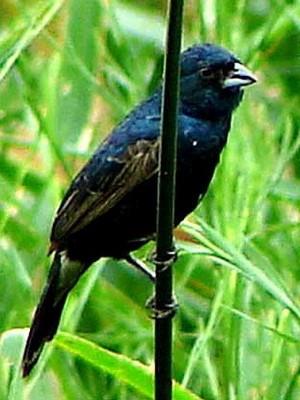 Volatinero/Blue-black Grassquit