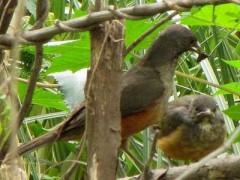 Zorzal-colorado/Rufous-bellied Thrush