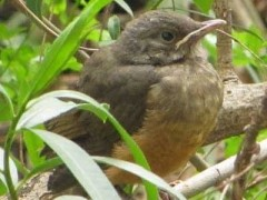 Zorzal-colorado/Rufous-bellied Thrush