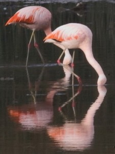 Flamenco austral/Chilean Flamingo