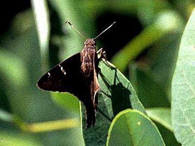 Rabuda de cobre/Zagorus Longtail
