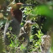 Hocó colorado/Rufescent Tiger-Heron
