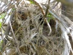 Nido Benteveo/Great Kiskadee Nest