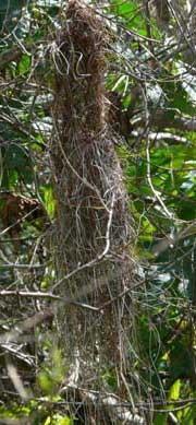 Nido Boyero negro/Solitary Cacique Nest