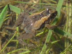 Rana enana/Hensel's Swamp Frog