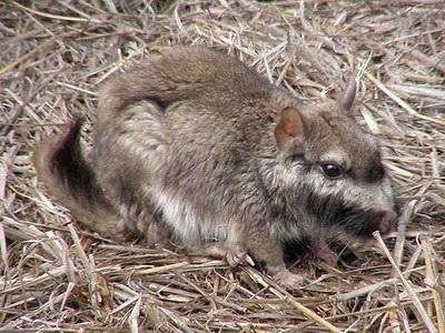 Vizcacha/Plains Viscacha