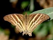 Daga chirona/Many-banded Daggerwing