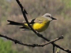 Suirirí real/Tropical Kingbird