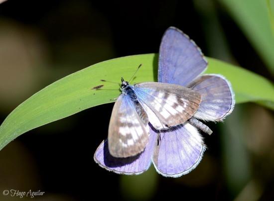 Yuyera/Cassius blue